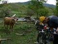 Любопытные коровы